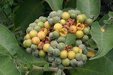 Solanum mauritianum07.jpg