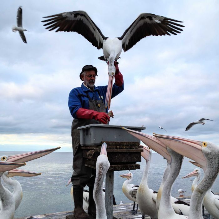 Kangaroo Island's pelican man grounded after 23 years of bird shows