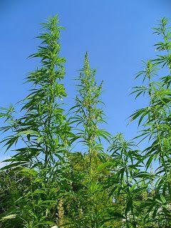 The Marijuana Conspiracy: The Reason Hemp is Illegal