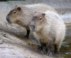Argentina, invasione dei capibara. Topi giganti di 50 kg distruggono tutto
