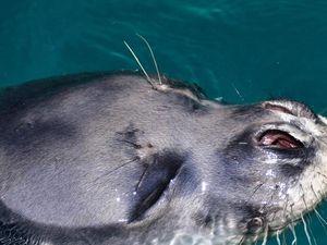 Grecia: rabbia per uccisione foca mascotte di Alonissos