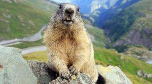 Alto Adige: cattura una marmotta con la tagliolae poi la uccide a colpi di badile