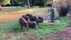 Roma, un gruppo di cinghiali si abbevera a Villa Mazzanti - Italia