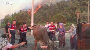 Turchia, allevatori mettono al riparo il bestiame mentre infuriano gli incendi - Mondo