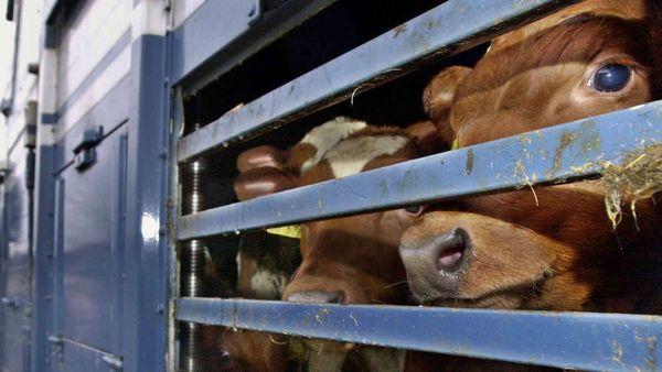 Kuh-Tourismus, Klöckner: Niedersachsen soll bei Tiertransporten hinschauen