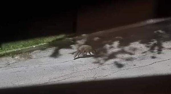 Vede un lupo sotto casa, si affaccia e lo fotografa vicino al centro abitato: cresce la preoccupazione dei residenti