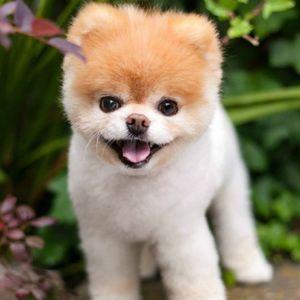 """Почина Бу, најслаткото куче на светот, од """"скршено ..."""
