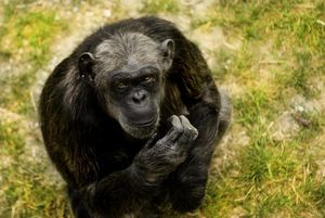 È morta a Bussolengo la scimpanzè più anziana d'Europa