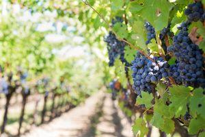 Scienza, riconoscimento facciale: l'intelligenza artificiale salva i raccolti di uva - Ildenaro.it