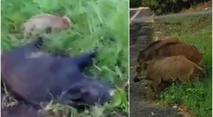 Cinghiali, intera famiglia massacrata e uccisa a Varese: la denuncia in un video