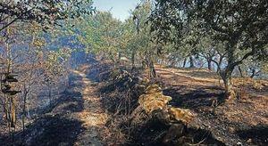 Fiamme a Massa Lubrense: sfiorate le case, oliveti distrutti