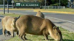 Capibara, i roditori più grandi del pianeta