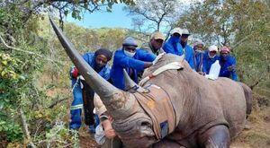 L'uomo che restituisce il corno ai rinoceronti