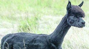 Alpaca con la tubercolosi destinato all'abbattimento, animalisti in piazza per Geronimo