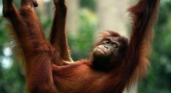 Covid, allarme contagi per orangotanghi e bonobi: vaccinati a San Diego, sono i primi animali al mondo