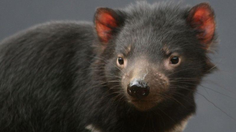 Egyelőre a tasmán ördög vezet.