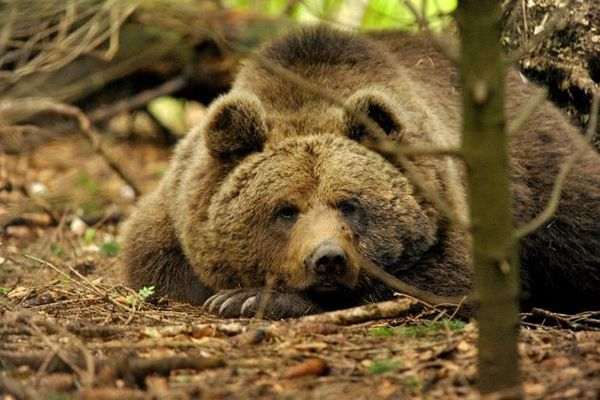 Cles, un orso trovato morto nel bosco