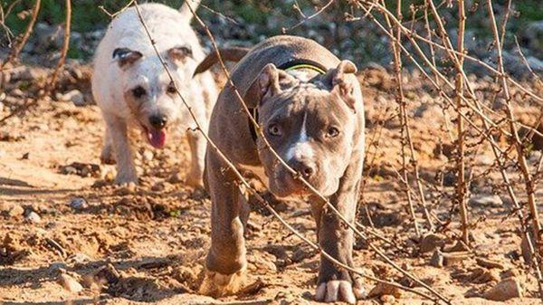 Anziana 89enne sbranata, il veterinario: non dipende dalla razza dei due cani, ma dalla scarsa socializzazione