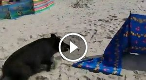 Invasione di cinghiali in spiaggia a caccia di cibo sotto gli ombrelloni: terrore tra i turisti