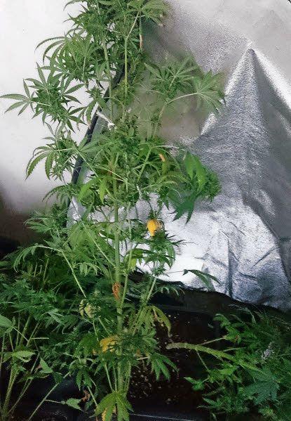 Cannabis. 900 plants découverts, six arrestations en Bretagne