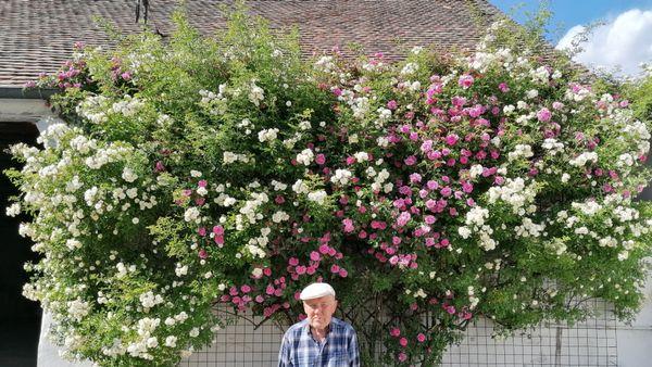 Mächtig stolz auf riesigen Rosenstock
