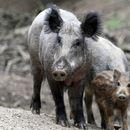 Divlje svinje vrlo uznemirene ali i opasne van staništa