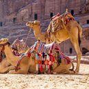 """Evropska unija poklonila Mauritaniji 250 kamila """"za jačanje bezbednosti"""""""