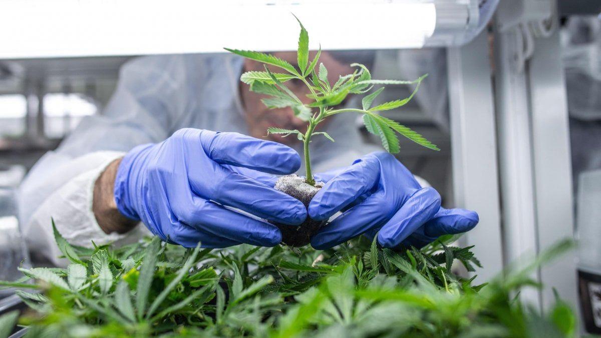 Cannabis legale appello cento parlamentari Conte affronti tema agli Stati generali futuro del Paese passa anche qui