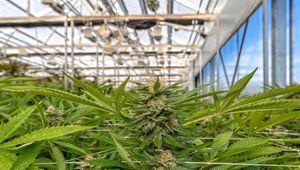 Un lockdown stupefacente, la cannabis fatta in casa mette le ali a GrowGen