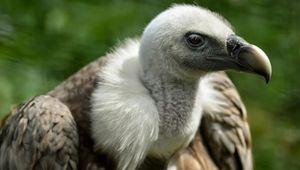 Francia, gli allevatori contro gli avvoltoi: uccidono i nostri animali. E c'è chi spara