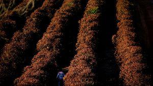 Caffè a rischio, causa Covid. Il Vietnam in tilt per i lockdown, si bloccano le spedizioni di Robusta