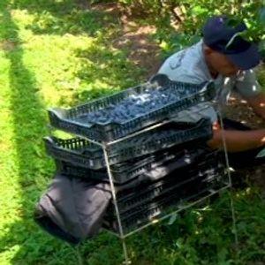 Nepogode desetkovale borovnicu, nema dovoljno berača – šta se dešava sa cenama