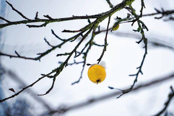 Natur: Der stille Tod der Streuobstwiesen: Wie Baden-Württemberg das Aushängeschild seiner Kulturlandschaft verliert