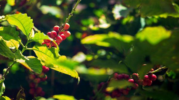 Il clima è cambiato, ora in Italia si coltiva caffè
