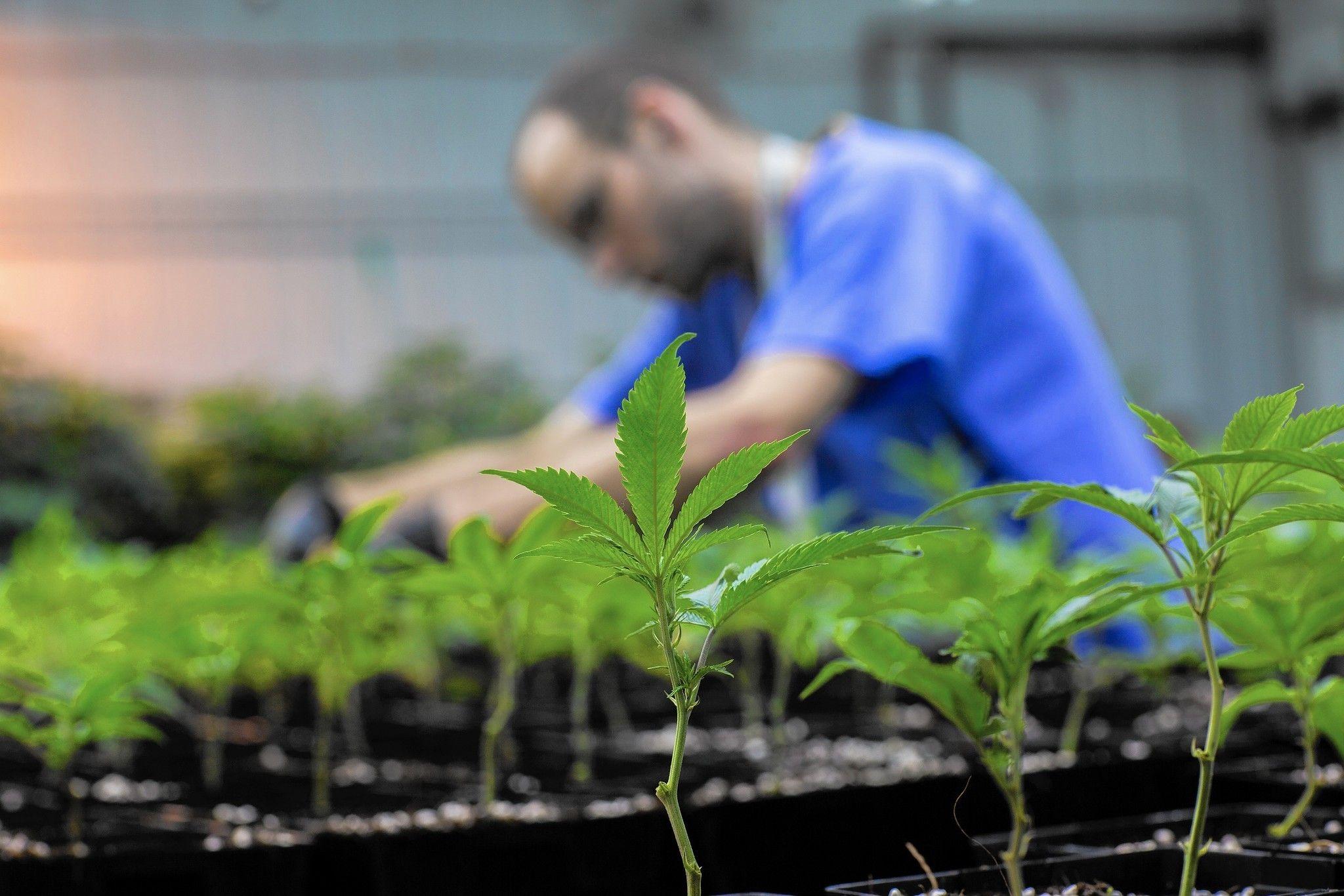 Medical marijuana companies in Illinois battle growing pains