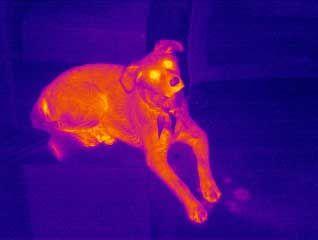 [Image: Animal_Veterinary_Thermal_Anlaysis.jpg]