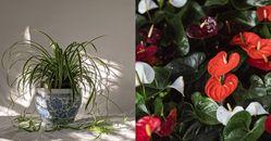 「室內開運植物」推薦這5種!「火鶴花」美觀又招桃花,「黃金葛」做到「這點」不招陰能聚財