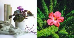 室內「開花植物」推薦這5種!「非洲堇」新手照顧最適合,這株「無窮花」是韓國國花!
