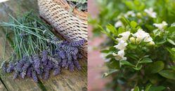 「驅蟲陽台植物」推薦這5種!「薰衣草」防蚊還能對抗失眠,「薄荷」製成防蚊液最天然!