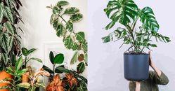 「大型室內盆栽」推薦這5種!「天堂鳥」熱帶風情最療癒,「橡皮樹」可去陰氣和煞氣