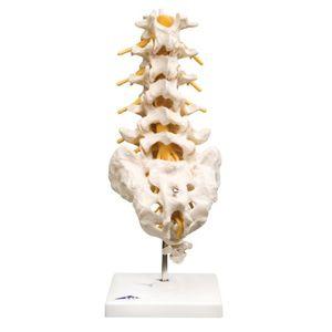 Cheap 3B Scientific  A74 Modelo de anatomía humana Columna Vertebral Lumbar opinión