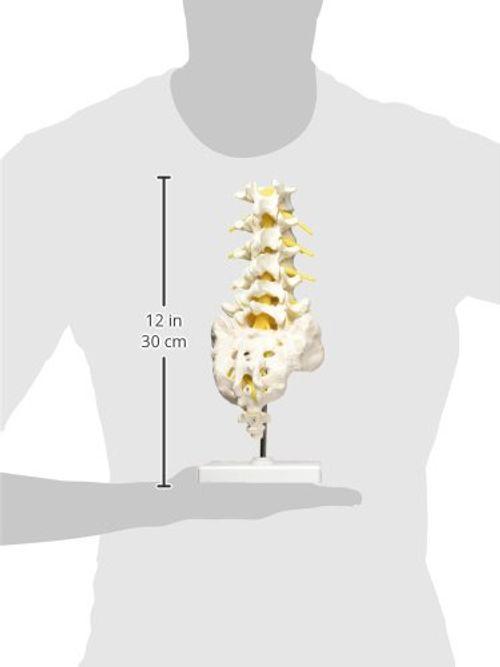 photo Wallpaper of 3B Scientific-3B Scientific  A74 Modelo De Anatomía Humana Columna Vertebral Lumbar-