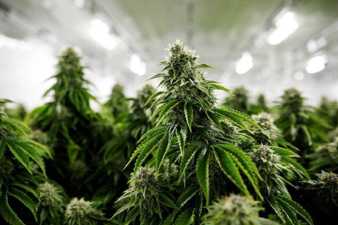 Кабмін легалізував медичний канабіс: список препаратів. Фото: pixabay