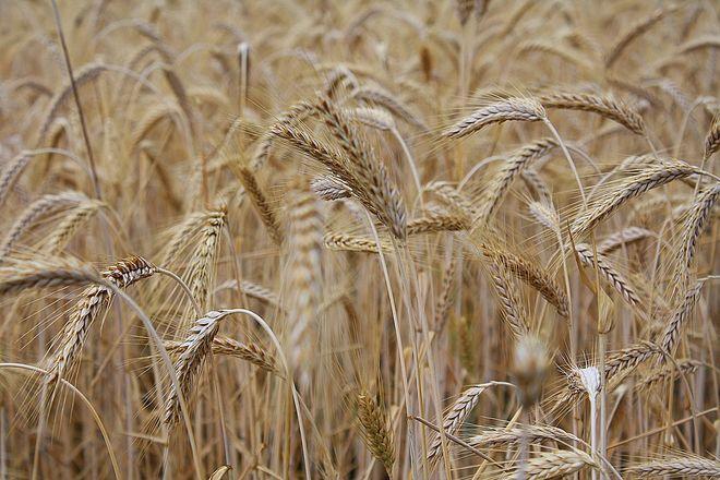 Запасы зерна на критически низком уровне: в Госрезерве назвали причины. Фото: Pixabay